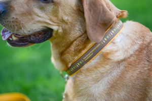 American Homebrewers Association Dog Collar